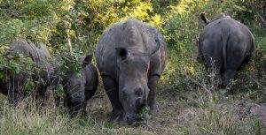 Breitmaulnashorn-Hluhluwe-iMfolozi-National-Park-KwaZulu-Natal-Suedafrika-149-300x153 Breitmaulnashorn