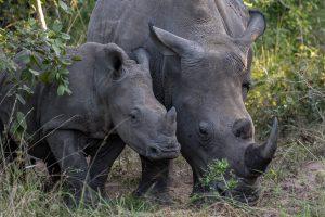 Breitmaulnashorn-Hluhluwe-iMfolozi-National-Park-KwaZulu-Natal-Suedafrika-150-300x200 Breitmaulnashorn