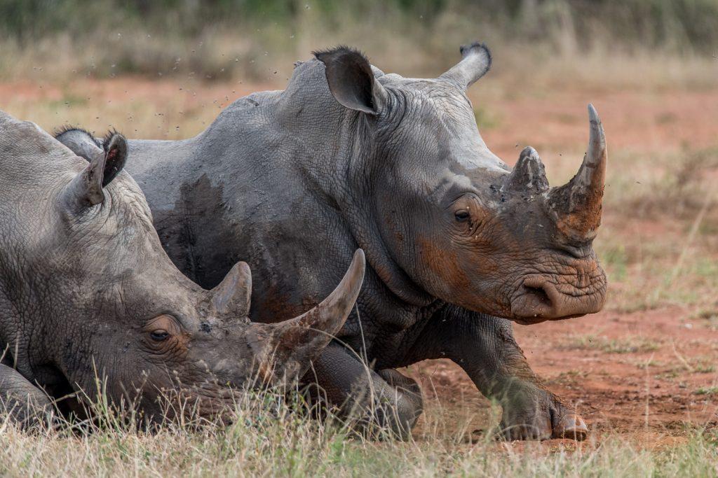 Breitmaulnashorn-Hluhluwe-iMfolozi-National-Park-KwaZulu-Natal-Suedafrika-55-1024x683 Hluhluwe-iMfolozi Reserve for Rhinos [South Africa]