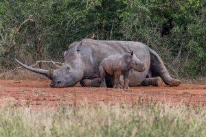 Breitmaulnashorn-Hluhluwe-iMfolozi-National-Park-KwaZulu-Natal-Suedafrika-72-300x200 Breitmaulnashorn