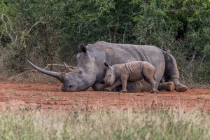 Breitmaulnashorn-Hluhluwe-iMfolozi-National-Park-KwaZulu-Natal-Suedafrika-76-300x200 Breitmaulnashorn