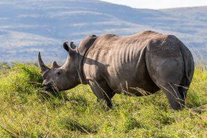 Breitmaulnashorn-Hluhluwe-iMfolozi-National-Park-KwaZulu-Natal-Suedafrika-97-300x200 Breitmaulnashorn
