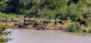 Breitmaulnashorn-mit-afrikanischem-Bueffel-Hluhluwe-iMfolozi-National-Park-KwaZulu-Natal-Suedafrika-18-300x143 Breitmaulnashorn mit afrikanischem Büffel