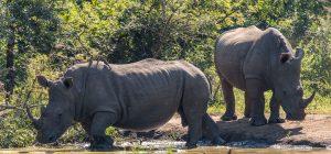 Breitmaulnashorn-mit-afrikanischem-Bueffel-Hluhluwe-iMfolozi-National-Park-KwaZulu-Natal-Suedafrika-9-300x140 Breitmaulnashorn mit afrikanischem Büffel