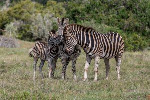 Burchells-Zebra-Mbotyi-Loop-Addo-Elephant-National-Park-Suedafrika-6-300x200 Burchells Zebra