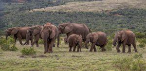 Elefant-Addo-Elephant-National-Park-Suedafrika-33-300x146 Elefant