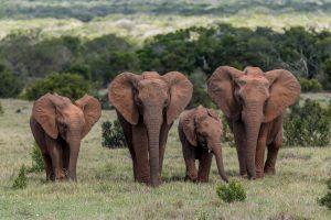Elefant-Mbotyi-Loop-Addo-Elephant-National-Park-Suedafrika-7-300x200 Elefant