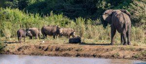 Elefanten-Breitmaulhashoerner-und-afrikanische-Bueffel-Hluhluwe-iMfolozi-National-Park-KwaZulu-Natal-Suedafrika-10-300x131 Elefanten, Breitmaulhashörner und afrikanische Büffel