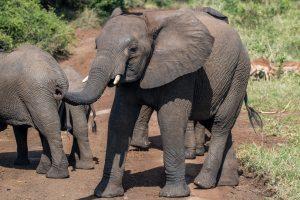 Elefantenherde-Hluhluwe-iMfolozi-National-Park-KwaZulu-Natal-Suedafrika-37-300x200 Elefantenherde