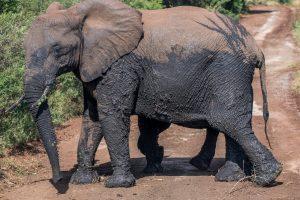 Elefantenherde-Hluhluwe-iMfolozi-National-Park-KwaZulu-Natal-Suedafrika-39-300x200 Elefantenherde