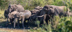 Elefantenherde-Hluhluwe-iMfolozi-National-Park-KwaZulu-Natal-Suedafrika-6-300x137 Elefantenherde
