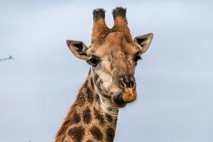 Giraffe-Hluhluwe-iMfolozi-National-Park-KwaZulu-Natal-Suedafrika-7-300x200 Giraffe
