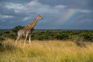 Giraffe-Phinda-Game-Reserve-KwaZulu-Natal-Suedafrika-11-300x200 Giraffe