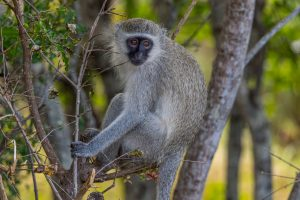 Gruene-Meerkatze-Hluhluwe-iMfolozi-National-Park-KwaZulu-Natal-Suedafrika-2-300x200 Grüne Meerkatze