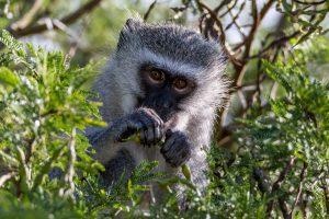 Gruene-Meerkatze-St.-Lucia-iSimangaliso-Wetland-Park-KwaZulu-Natal-Suedafrika-6-300x200 Grüne Meerkatze