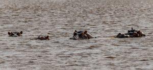 Hippos-iSimangaliso-Wetland-Park-KwaZulu-Natal-Suedafrika-3-300x137 Hippos
