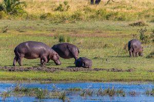 Hippos-iZindondwe-Pan-iSimangaliso-Wetland-Park-KwaZulu-Natal-Suedafrika-10-300x200 Hippos