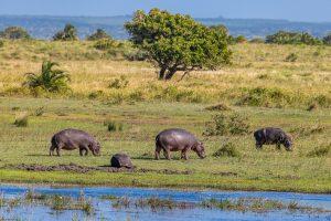 Hippos-iZindondwe-Pan-iSimangaliso-Wetland-Park-KwaZulu-Natal-Suedafrika-13-300x200 Hippos