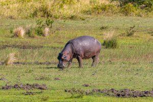 Hippos-iZindondwe-Pan-iSimangaliso-Wetland-Park-KwaZulu-Natal-Suedafrika-17-300x200 Hippos