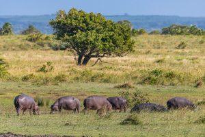 Hippos-iZindondwe-Pan-iSimangaliso-Wetland-Park-KwaZulu-Natal-Suedafrika-18-300x200 Hippos