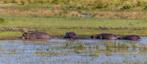 Hippos-iZindondwe-Pan-iSimangaliso-Wetland-Park-KwaZulu-Natal-Suedafrika-23-300x132 Hippos