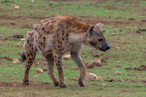Hyaene-Lismore-Waterhole-Addo-Elephant-National-Park-Suedafrika-3-300x200 Hyäne