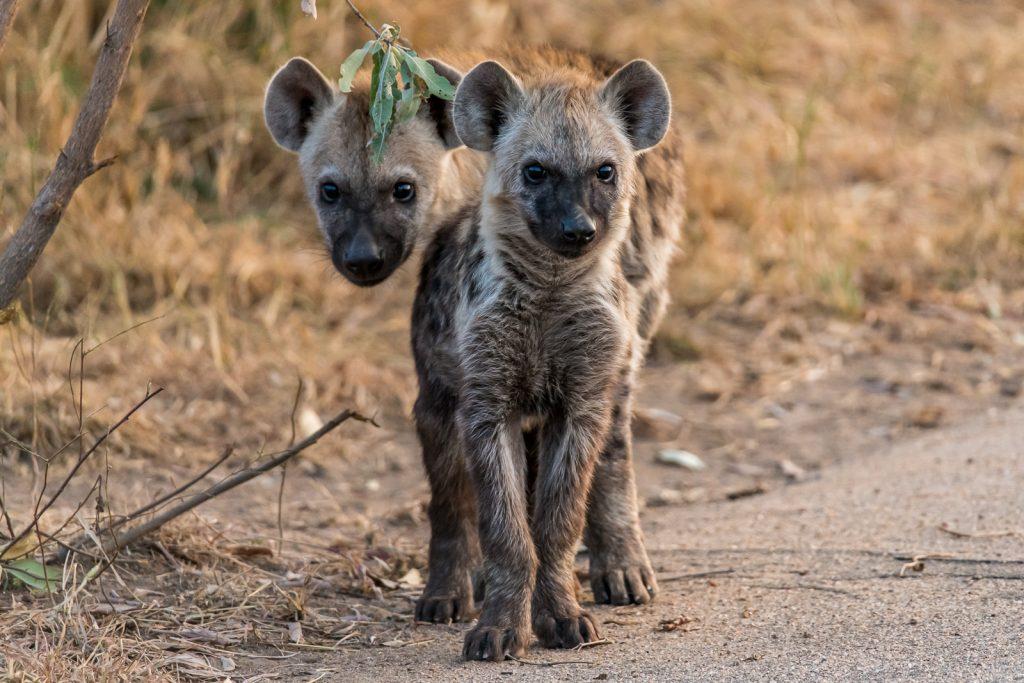 Leopard-5-und-6-Doispane-Road-S1-Krueger-National-Park-Mpumalanga-Suedafrika-6-1024x683 Kruger National Park [South Africa]