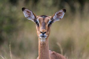 Impala-Hluhluwe-iMfolozi-National-Park-KwaZulu-Natal-Suedafrika-12-300x200 Impala