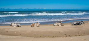 Kuehe-am-Strand-Mbotyi-Suedafrika-6-300x137 Kühe am Strand