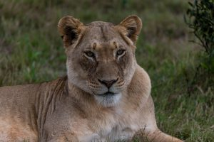 Loewe-Ngulube-Loop-Addo-Elephant-National-Park-Suedafrika-18-300x200 Löwe