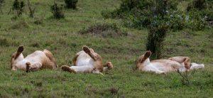 Loewe-Ngulube-Loop-Addo-Elephant-National-Park-Suedafrika-2-300x138 Löwe