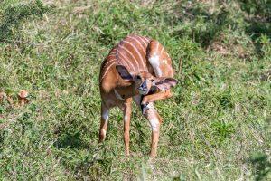 Nyala-Hluhluwe-iMfolozi-National-Park-KwaZulu-Natal-Suedafrika-5-300x200 Nyala