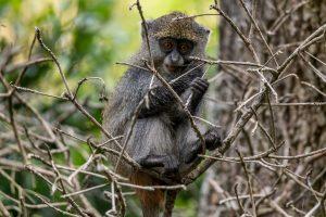 Syke´s-Monkey-Cape-Vidal-iSimangaliso-Wetland-Park-KwaZulu-Natal-Suedafrika-11-300x200 Syke´s Monkey
