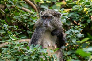 Syke´s-Monkey-Cape-Vidal-iSimangaliso-Wetland-Park-KwaZulu-Natal-Suedafrika-12-300x200 Syke´s Monkey