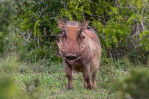 Warzenschwein-Addo-Elephant-National-Park-Suedafrika-300x200 Warzenschwein