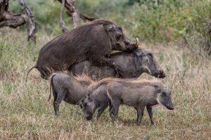 Warzenschweine-Hluhluwe-iMfolozi-National-Park-KwaZulu-Natal-Suedafrika-12-300x200 Warzenschweine