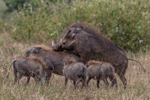Warzenschweine-Hluhluwe-iMfolozi-National-Park-KwaZulu-Natal-Suedafrika-300x200 Warzenschweine